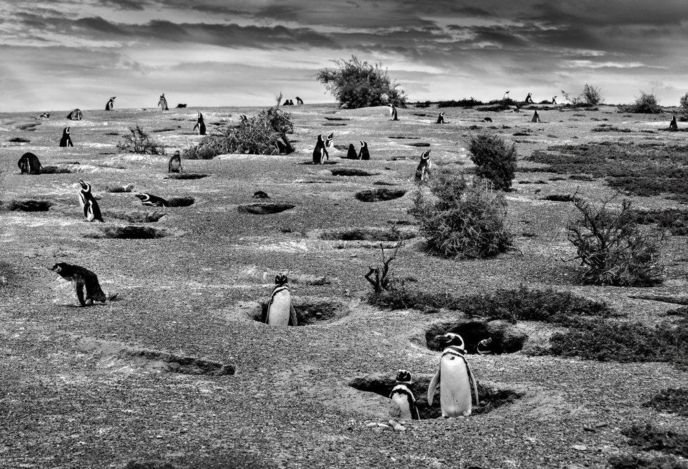 Kolóniu tučniakov na poloostrove Punta Tombo v provincii Chubut v Argentíne ohrozujú klimatické zmeny.