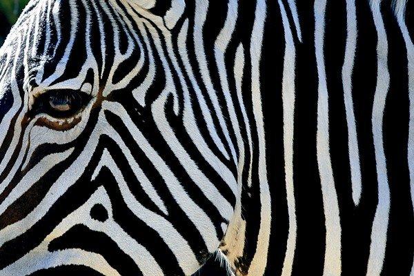 Pruhy ochránia zebry pred štípancami.