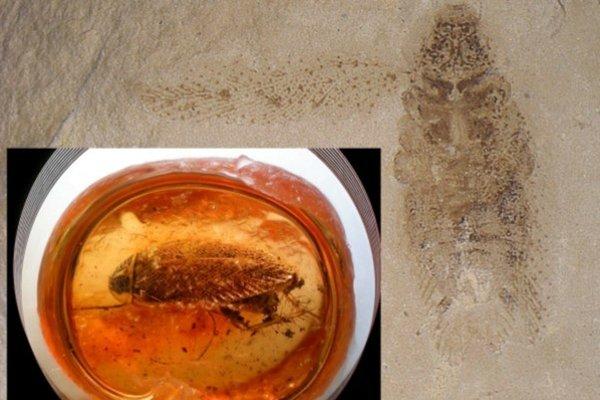 44 a 49 milión rokov starý zástupcovia rodu Ectobius: Sedimenty Zelenej rieky, Colorado (NMNH Washington DC 41679/53274) a jantár z Kaliningradu, Rusko (zbierka Gusakov VI-008, foto D. Shcherbakov).