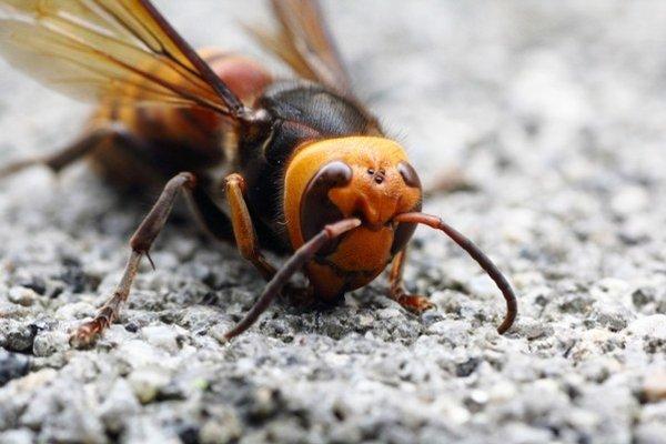 Sršeň môže bodnúť až dvestokrát.