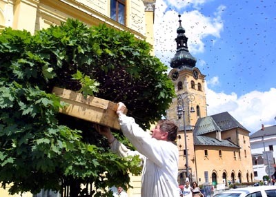 exprimátor s. mika zachraňoval včelí roj.