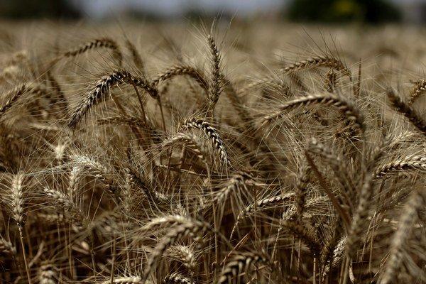 Objavili ilegálnu GM pšenicu.