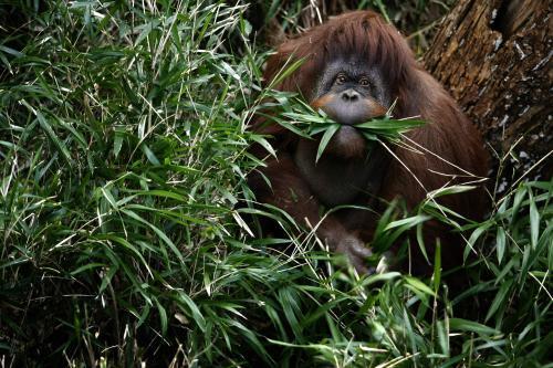 orangutan-1.jpeg