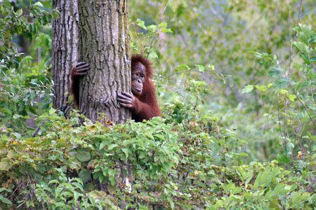 hvizdajuca_orangutanica4.jpg