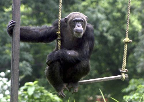 simpanz_sitaaap.jpg