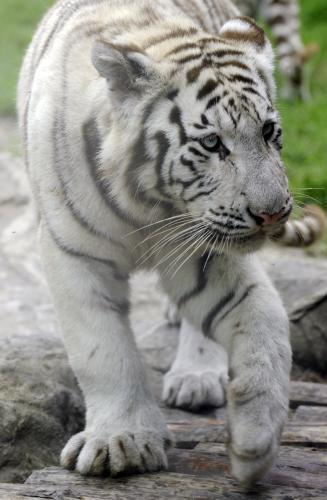tiger-bratislava_tasr.jpg