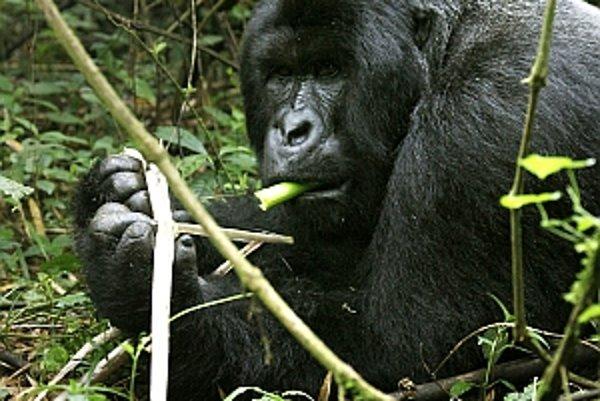 Jedia gorily okrem rastlín a hmyzu aj mäso cicavcov?