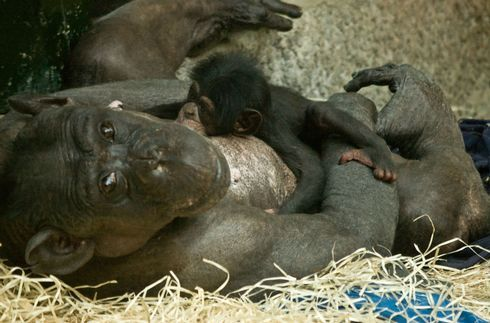 simpanz_res.jpg