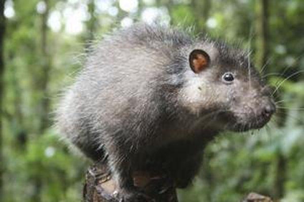 Vedci objavili obrovského potkana i nové druhy žiab.