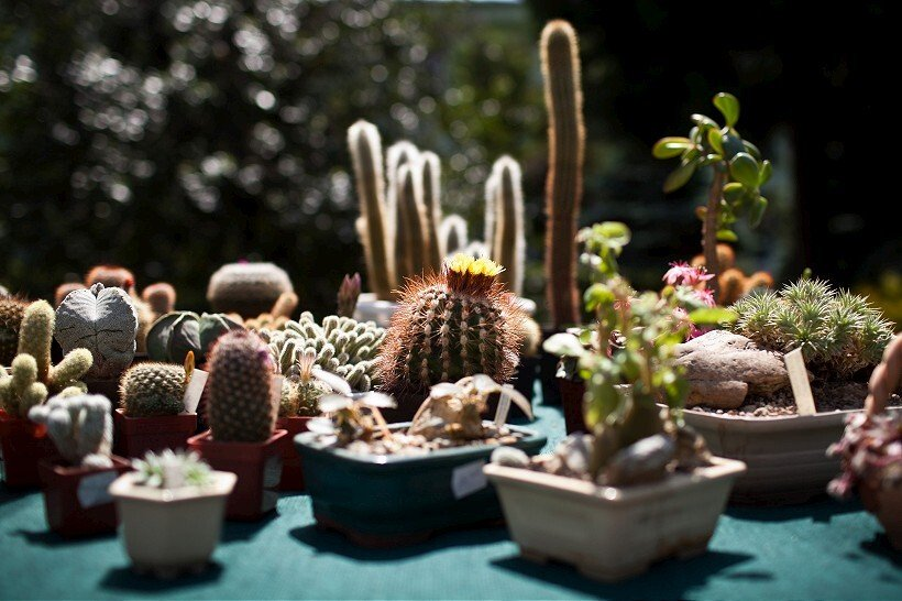 kaktus7-820.jpg