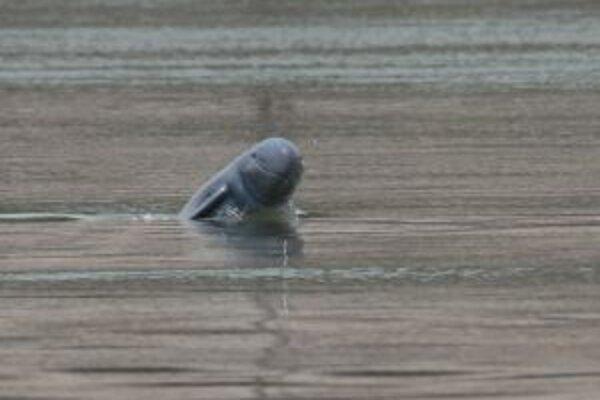 """""""Usmievajúci sa"""" delfín krátkonosý z rieky Mekong - zachytený v novembri 2007 pri Koh Kon Sate v Kambodži."""