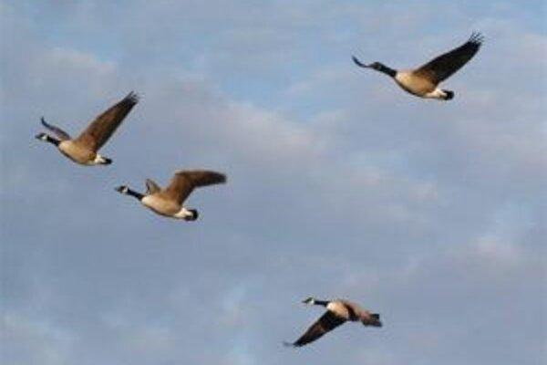 """Bernikly bielobradé pri migrácii. Ich blížni sa stali mimovoľnými """"samovražednými atentátnikmi"""" na airbus. Rozbormi DNA a pomeru stabilných vodíkových izotopov vo zvyškoch pier sa zistilo, že haváriu lietadla spôsobil práve tento druh divých husí, že patr"""