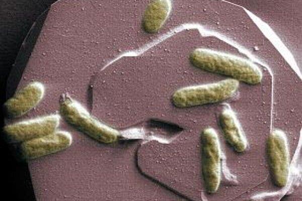 Bunky baktérie Shewanella oneidensis kmeňa MR-1 na povrchu hematitu, minerálu obsahujúceho oxid železitý.