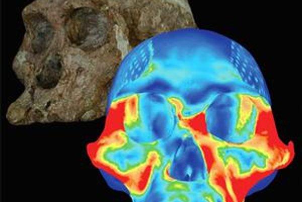 Skutočná a počítačová lebka Australopitheca africanus. Počítačová ukazuje rozloženie sílpri zahryznutí premolármi.