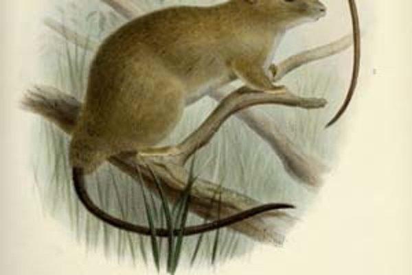 Táto kresba sprevádzala pôvodný formálny opis tvora, ktorý vyšiel v roku 1898 v britskom zoologickom časopise.