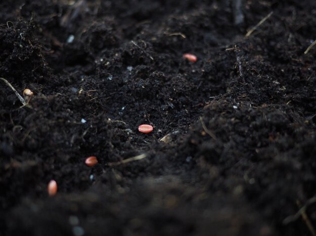 Semená obilniny ošetrené pesticídmi.