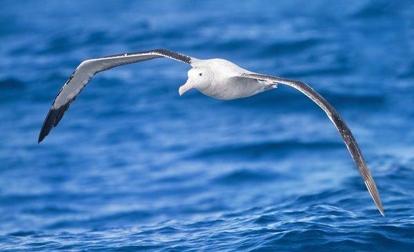 diomedea_exulans_in_flight_-_se_tasmania_r7068_res.jpg