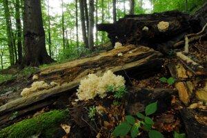 Prales v Národnej prírodnej rezervácii Stužica v Národnom parku Poloniny.
