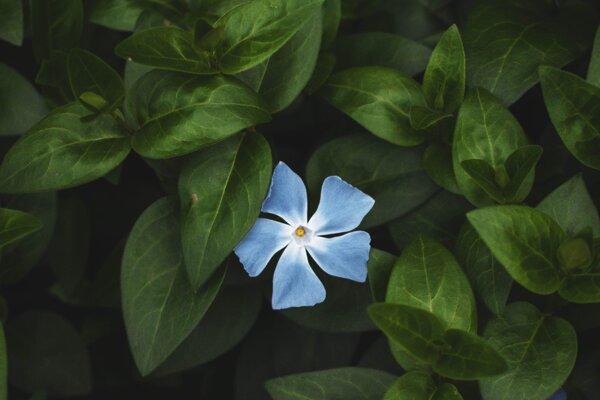 Niektoré modré kvety v sebe majú červené pigmenty. Robia akýsi trik pred ľudskými očami.
