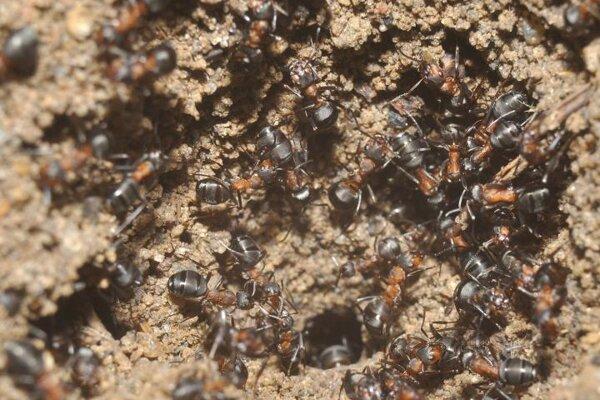 Mravce druhu formica polyctena na násype, ktorý si vytvorili v miestnosti bunkra.
