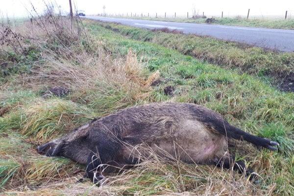 Prípad z víkendu, uhynutá diviačica pri ceste do Levoče.