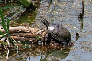 Korytnačka močiarna je jediný pôvodný druh korytnačky na Slovensku