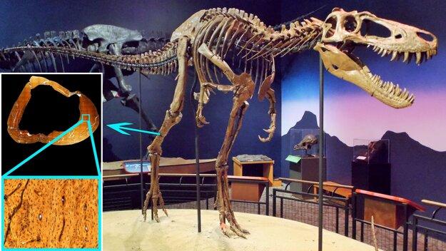 Kostra tyranosaura menom Jane. Z holennej kosti odobrali tenkú vzorku, pomocou ktorej vedci určili vek aj to, že v čase smrti dinosaurus stále rástol.