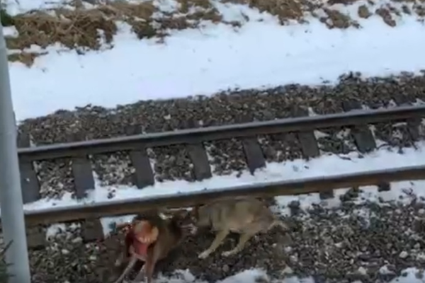 Vlk skolil jelenča.