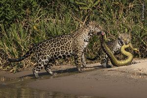 Zladený odev. Keď bol jedného dňa fotograf Michel Zoghzoghi na rieke rês Irmãos, všimol si samicu jaguára s mláďaťom. V tlamách niesli ulovenú anakondu s podobným škvrnitým vzorom na tele, aký mali aj ony.