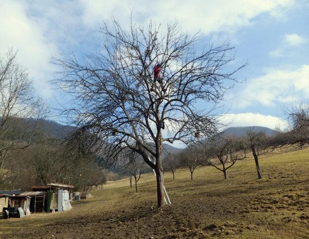 Hľadajú stopy starých krajových odrôd azároveň radia ľuďom, ako pestovať ovocné stromy.