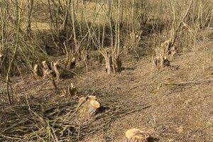 Vyrúbané listnaté stromy.