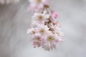 Rozkvitnutá čerešňa pílkatá nazývaná aj sakura.