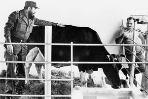Najznámejšia kubánska krava Ubre Blanca, ktorá prekonala rekord z USA v množstve nadojeného mlieka, mala klimatizovanú stajňu aj hudobný sprievod pri dojení. Fidel Castro sa ňou hrdil pred novinármi aj diplomatmi.