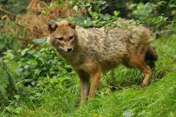 Šakal zlatý pripomína líšku. Má kratší chvost a dlhšie nohy.