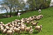 Mesto Spišské Podhradie bude chovať ovce.