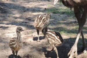 Tri mláďatá emu hnedého.