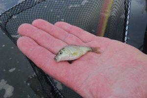 V rybníku plávajú aj takéto malé rybky.