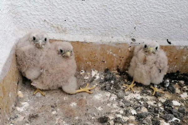 Na jednom z balkónov sú mladé sokoly, na druhom päť vajíčok.
