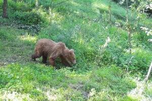 Opusteného medveďa v Belej-Duliciach odvrhla matka.