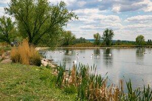 Plávajúce labute na Skalických rybníkoch na jar, Skalica