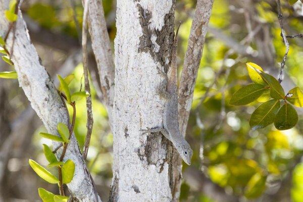 Jašterica druhu Anolis scriptus žijúca v Karibiku má veľké a silné zakončenia prstov. Zvyšujú šancu, že zviera prežije hurikán.