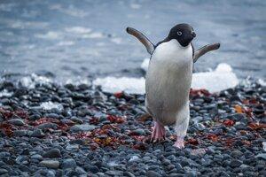 Tučniak okatý