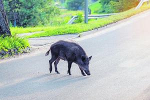 Divé svine schádzajú do miest u nás aj v Izraeli.