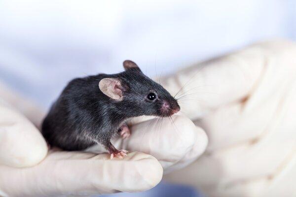 Vedci navrátili mladícky zrak starým myšiam. Ilustračné foto.