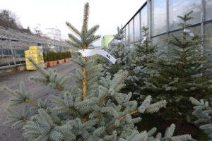 Správa mestskej zelene v Košiciach nosievala stromčeky až do obývačky. Pre koronavírus to nebude možné.