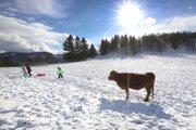 Kravy sa na svahoch Kráľovej miešajú s turistami.