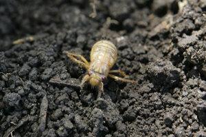 Cikády vyliezajú zo zeme masovo každých sedemnásť alebo trinásť rokov ako nedospelé jedince. Pár týždňov sa pária, kladú vajíčka a umierajú.