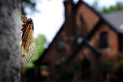 Samice nakladú vajíčka do kôry stromov. Keď sa vyliahnu, cikády popadajú na zem a zahrabú sa na ďalších sedemnásť rokov.