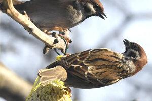 Vrabce sú častými návštevníkmi kŕmidiel cez zimu.