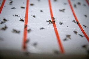 Výnimočne sa muchám podarí uniknúť, preto sú v priestore umiestnené mucholapky. Chované muchy na Slovensku však nie sú nebezpečné, neprenášajú spavú chorobu.